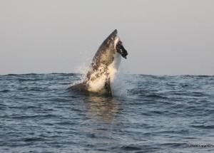 Gansbaai Great White Sharks