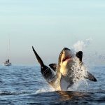 Shark Diving in False Bay