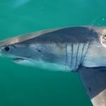Mossel Bay Sharks