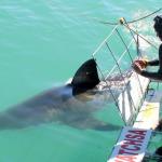 Gansbaai Shark Cage Diving