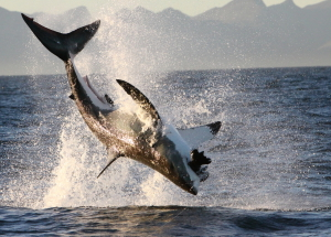 False Bay Shark Diving Trip