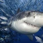 Shark Diving in Gansbaai
