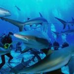 False Bay Blue Sharks