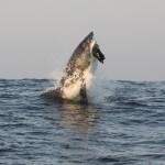 Sharks in False Bay