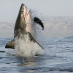 False Bay Sharks
