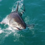 Shark Cage Diving Gansbaai