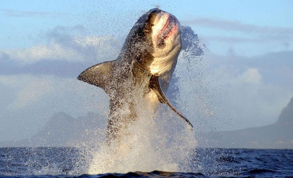Great white shark breaching shark zone blog for Picture great