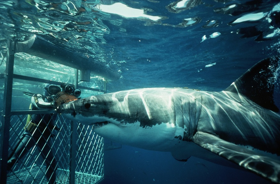 Diver in Cage Observing Shark