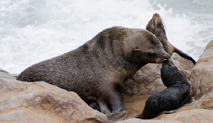 Cape Fur Seal Scuba Diving