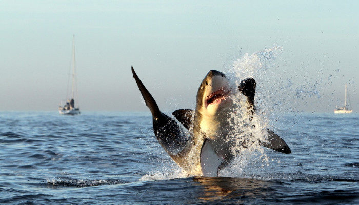 Great white sharks Gansbaai