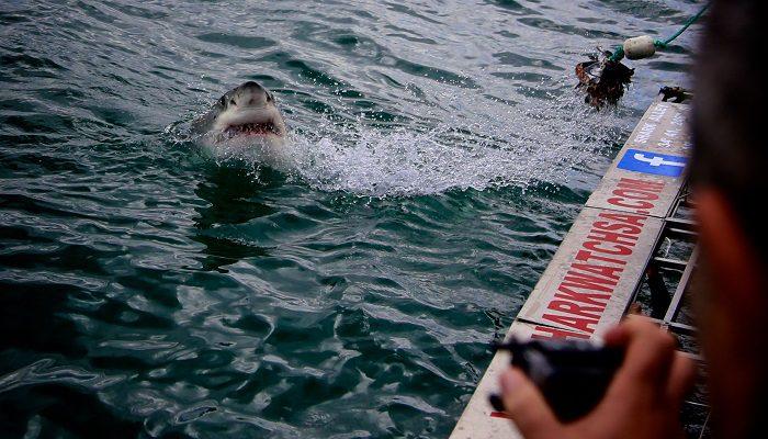Great White Sharks Gansbaai