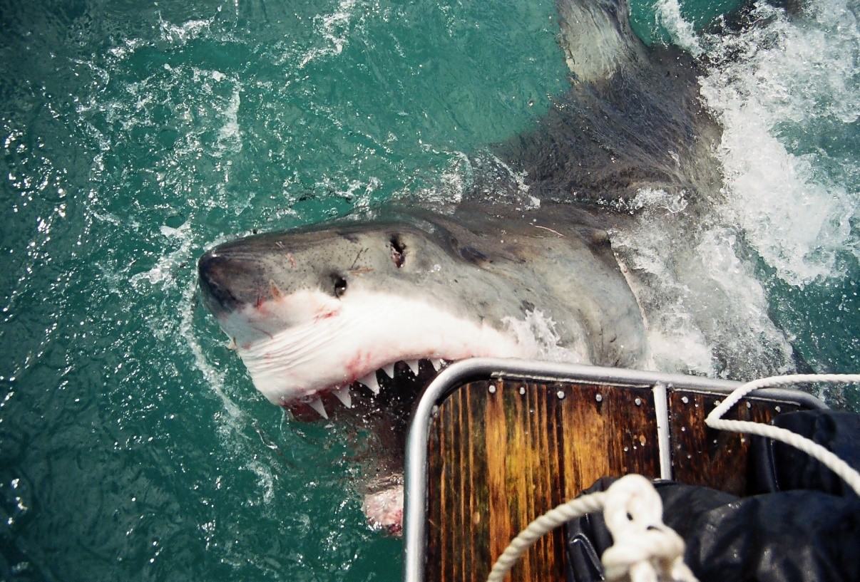 Great White Shark Gansbaai